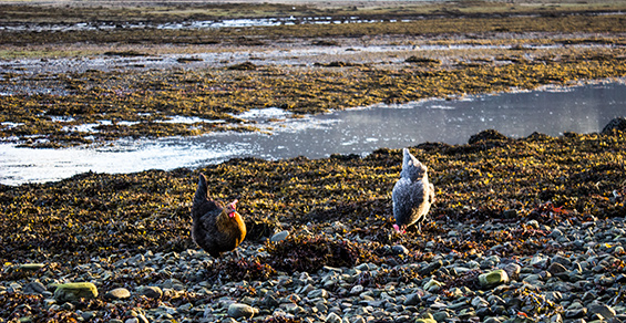Seadrift, Self-catering, Dornie - hens on beach